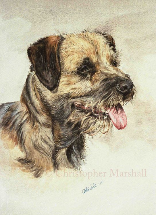 DBT1 - Border Terrier
