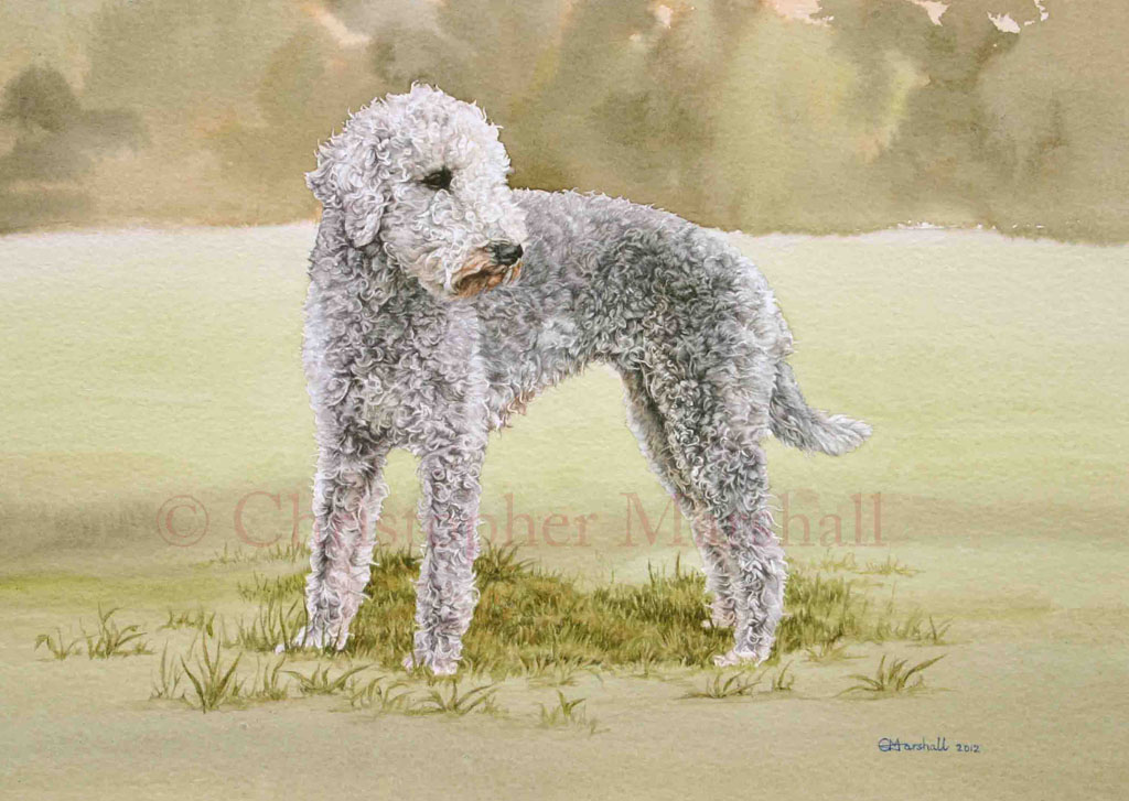 DBT - Bedlington Terrier