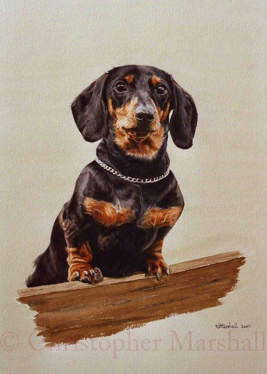 DDS3 - Smooth-haired Dachshund