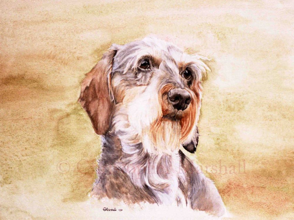 DDS4 - Wire-haired Dachshund