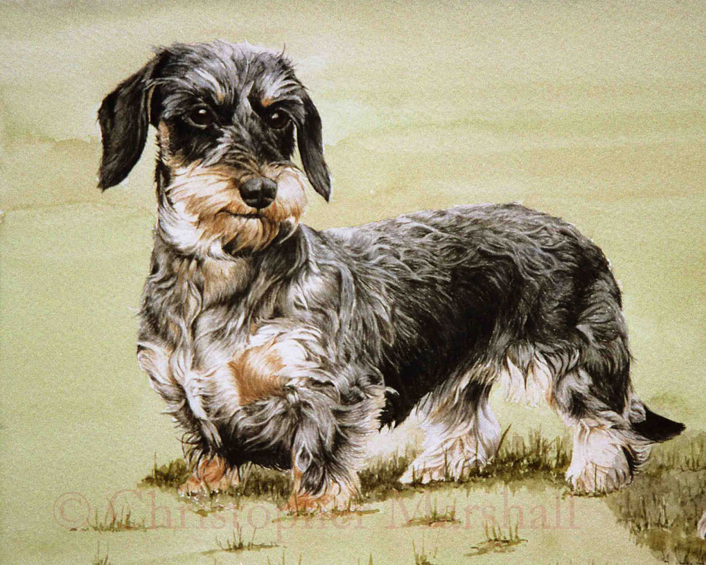 DDS5 - Wire-haired_Dachshund