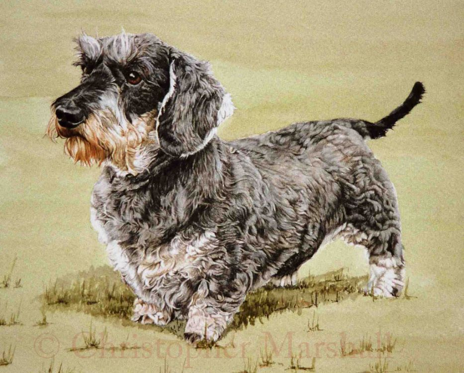 DDS6 - Wire-haired Dachshund