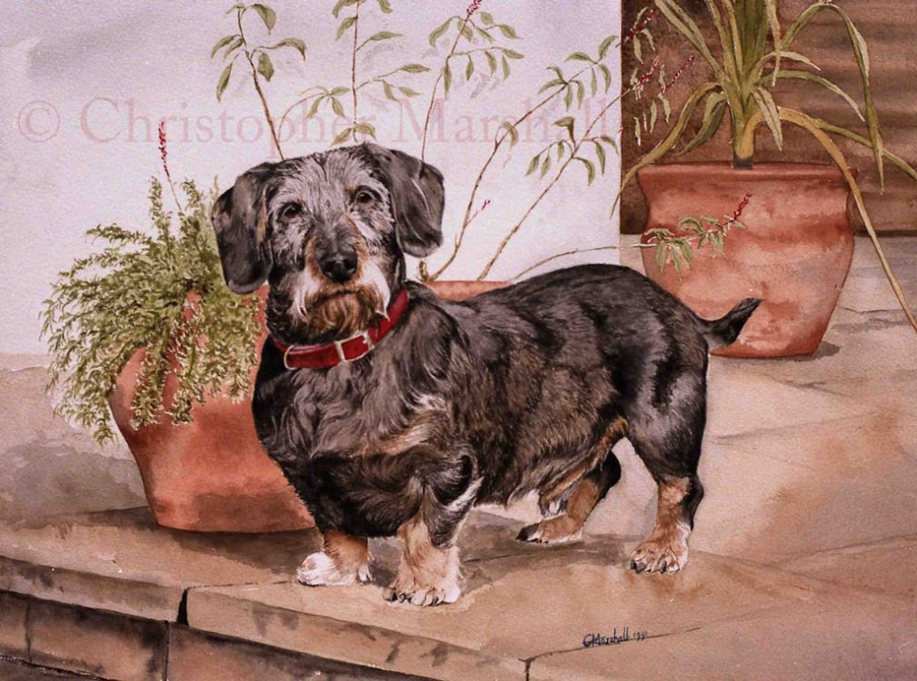 DDS7 - Wire-haired Dachshund