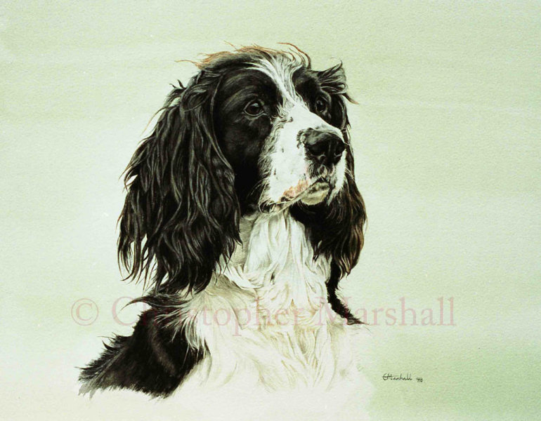 DES2 - English Springer Spaniel