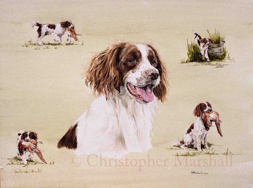 DES4 - English Springer Spaniel