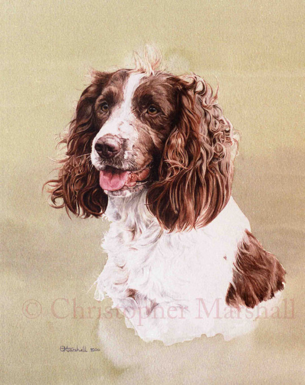 DES8 - English Springer Spaniel