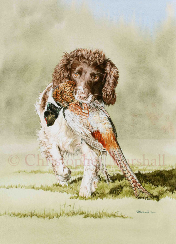 DES9 - English Springer Spaniel