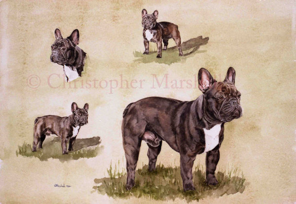 DFB - French Bulldog