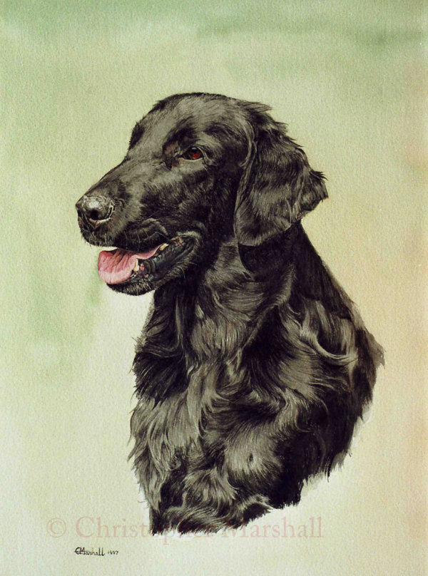 DFC10 - Flat Coat Retriever