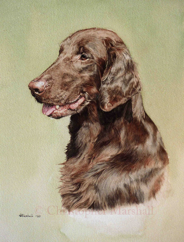 DFC13 - Flat Coat Retriever