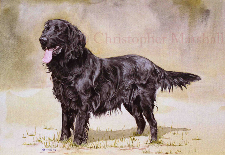 DFC3 - Flat Coat Retriever