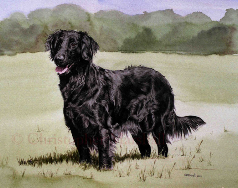 DFC4 - Flat Coat Retriever