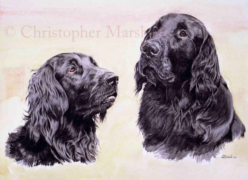 DFC8 - Flat Coat Retriever