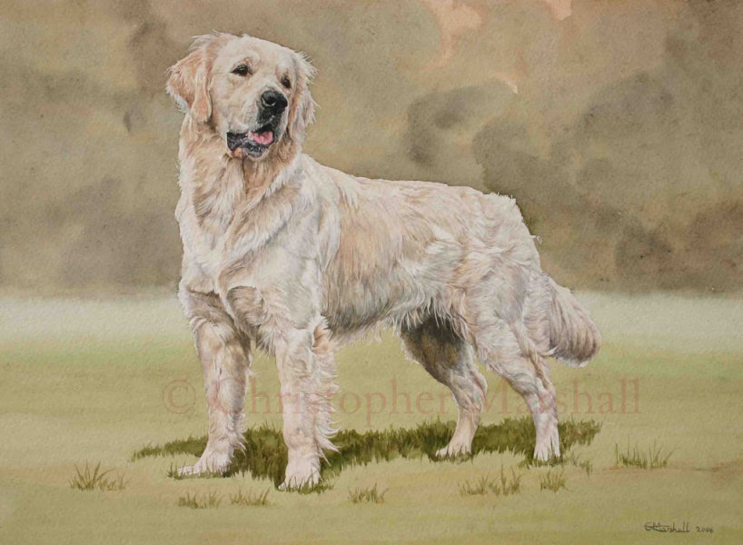 DGR2 - Golden Retriever