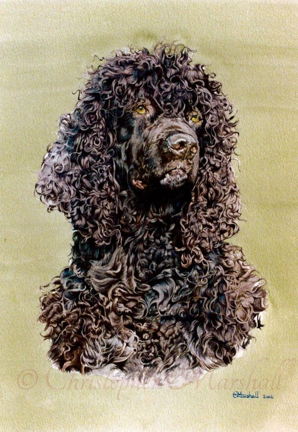 DIWS - Irish Water Spaniel