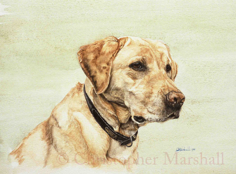 DLR10 - Labrador Retriever