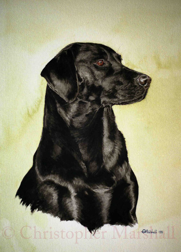 DLR3 - Labrador Retriever