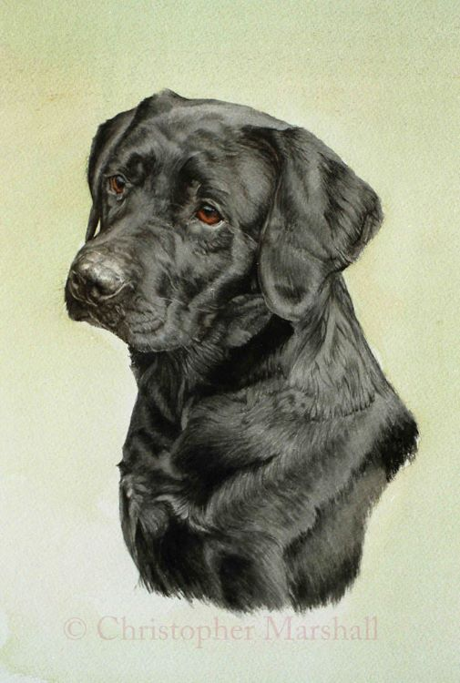 DLR5 - Labrador Retriever