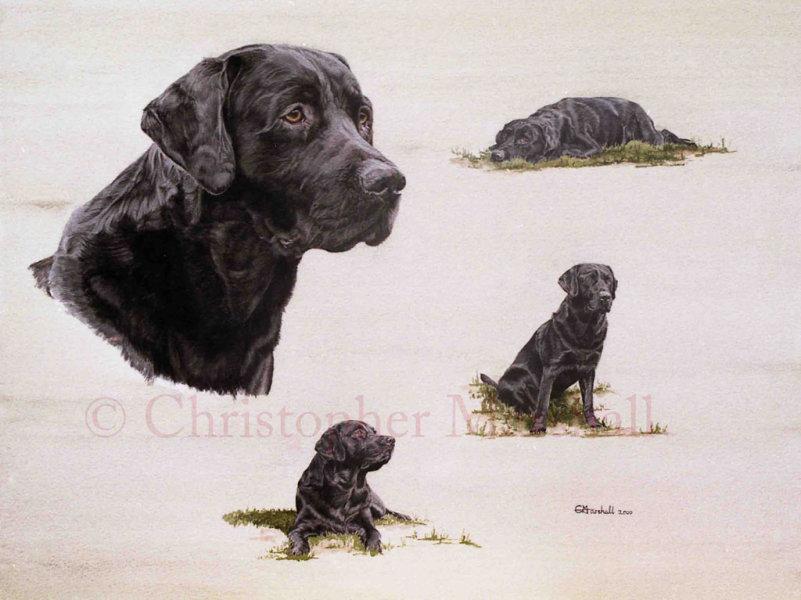 DLR6 - Labrador Retriever