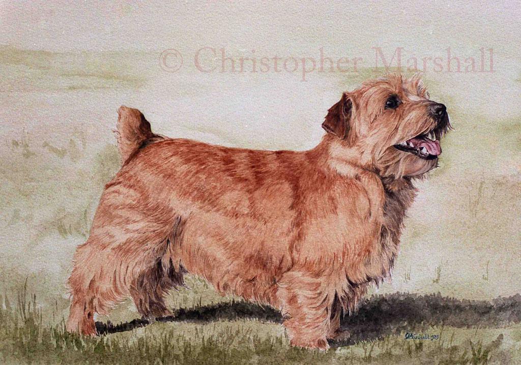 DNT - Norfolk Terrier