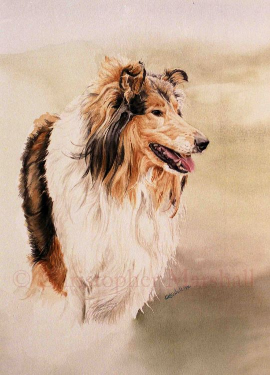 DRC2 - Rough Collie