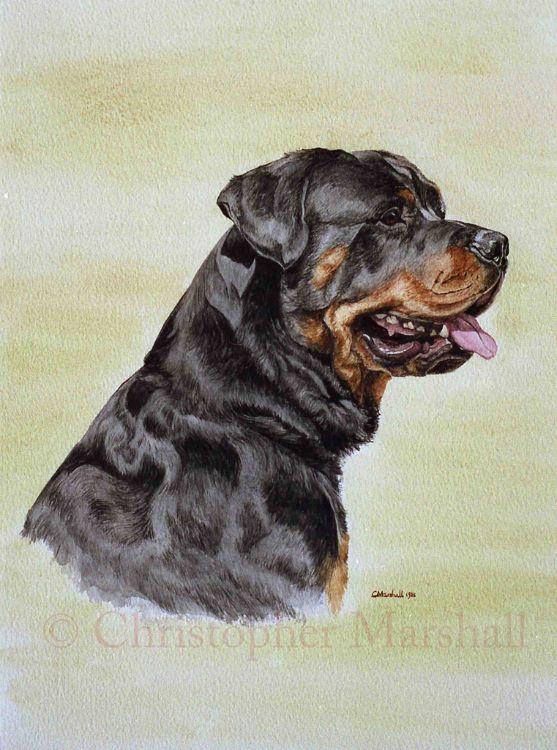 DRW1 - Rottweiler