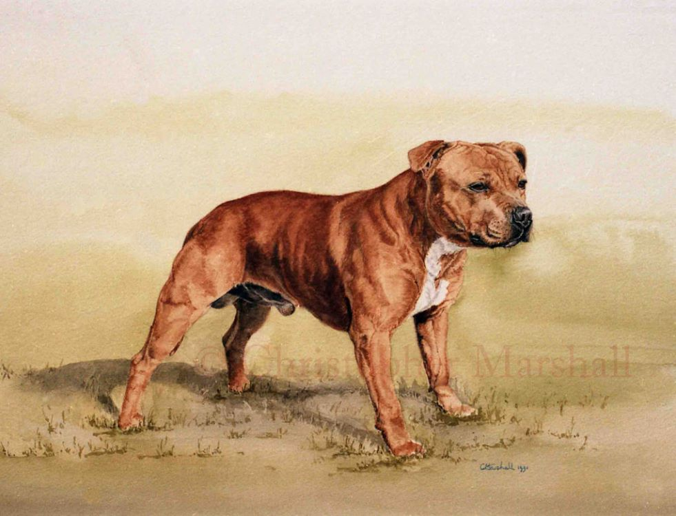DSB2 - Staffordshire Bull Terrier