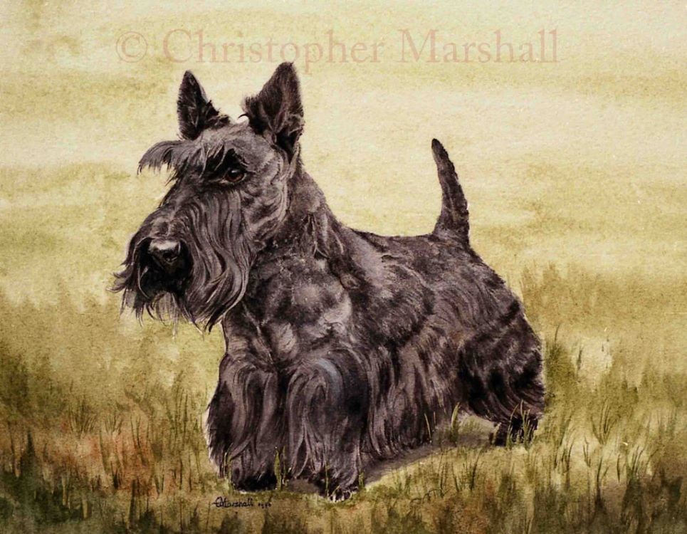 DST1 - Scottish Terrier