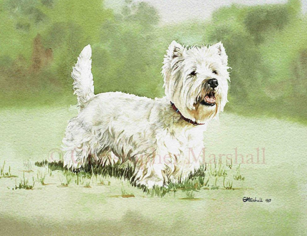 DWH - West Highland White Terrier
