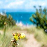 Beach Gorse