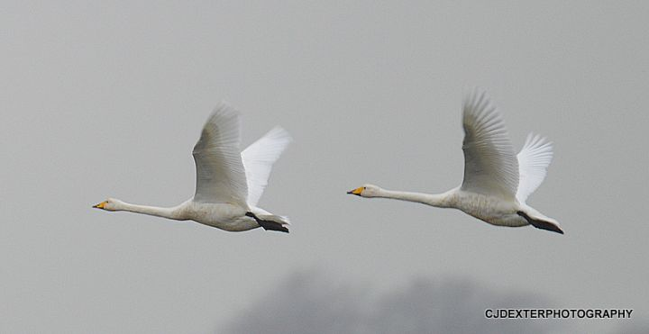SWANS OVER MARTINMERE
