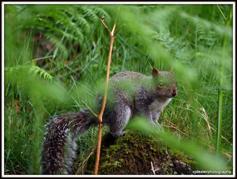 grey squirel