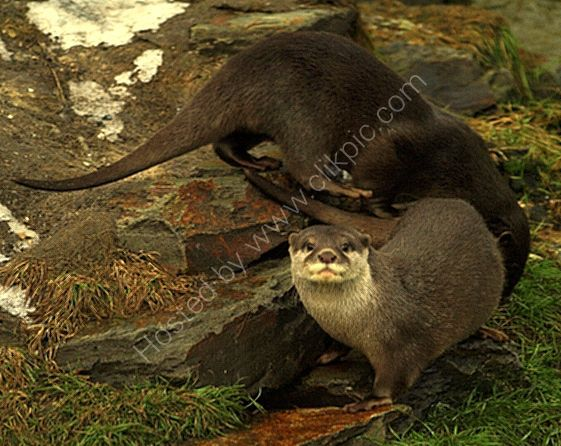 european short clawed otters