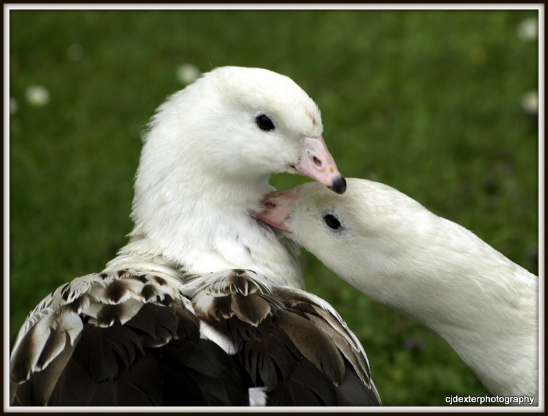 andean geese
