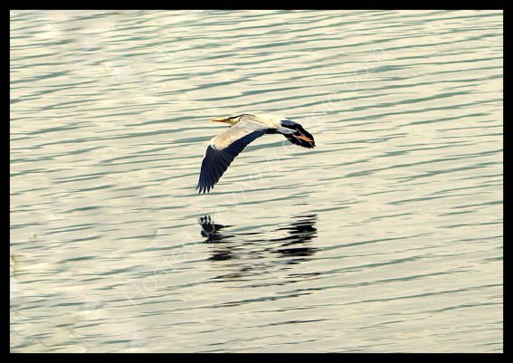heron over esthwaite water