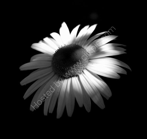 oxie daisy
