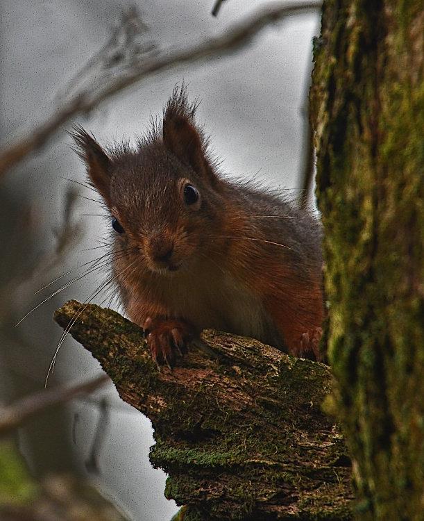 red squirrel  GRASMERE