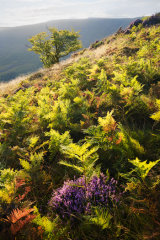 Bracken and Heather, Brecon Beacons, Wales.