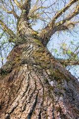Beechwood tree bark, Newport City, Wales.