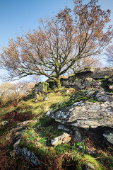Cwmnantcol Oak, north Wales, UK