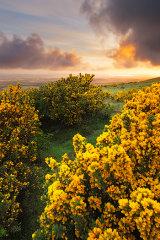 Dorset Gorse sunrise, Dorset, England