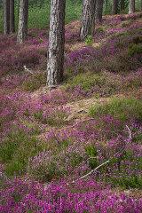 Dorset Heather and Pine, England, UK.