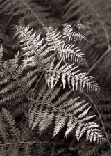 Bracken Fronds, Dartmoor, England.