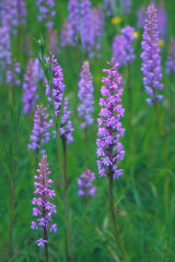 Fragrant Orchids, Oxfordshire, England, UK.