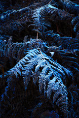 Frozen Fern Fronds, Brecon Beacons, Wales