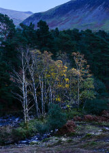 Birches, Wastwater, Lake District, England.