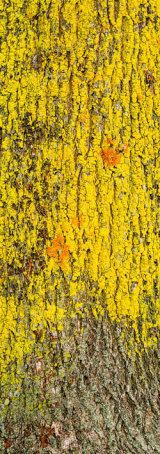 Lichen covered tree bark, Newport, Wales.