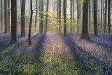 Marlborough Bluebells (#3), Wiltshire, England.