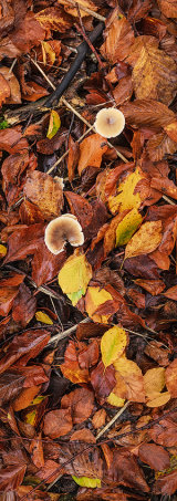 Leaf Litter and Fungi, Marlborough, England, UK