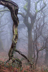 twisted wood, Brecon Beacons, Wales, UK
